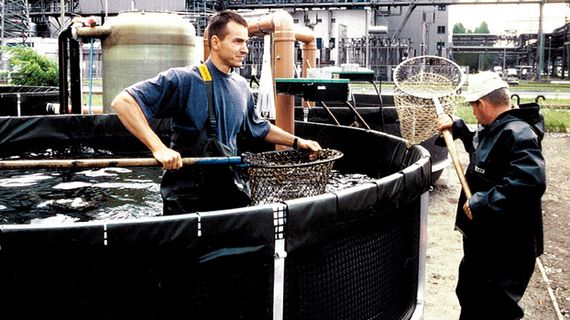 Abfischen der Karpfen am Kraftwerk Jänschwalde